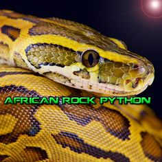 #African Rock #Python is a perfect example of 1 of the beautiful #reptiles in #SouthAfrica MORE ON OUR WEBSITE. LINK IN BIO #KZNSouthCoast Adventure Activities, Website Link, Python, Reptiles, Snake, Wildlife, African, Rock, Animals
