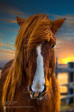 Icelandic Horse by RAF_PHOTOGRAPHY via http://ift.tt/2qzOxIQ