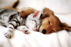 Cat Dog Together Cute Kittens and Puppies . Cute Kittens, Kittens And Puppies, Cute Puppies, Cats And Kittens, Fluffy Kittens, Cute Baby Animals, Funny Animals, Wild Animals, Tier Fotos