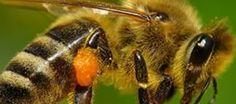 Arı Sokması Nedir ? Belirtileri ve Tedavisi