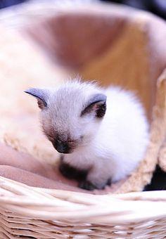 cute siamese kitten falls asleep in basket