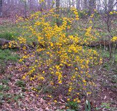 "Kerria japonica ""Pleniflora"" (Double Japanese Kerria) - Gardens in ..."