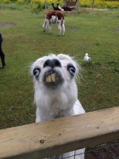 Funny pictures about This Llama At The Petting Zoo. Oh, and cool pics about This Llama At The Petting Zoo. Also, This Llama At The Petting Zoo photos. Animal Jokes, Funny Animal Memes, Cute Funny Animals, Funny Animal Pictures, Cute Baby Animals, Funny Cute, Funny Photos, Funny Memes, Funniest Animals