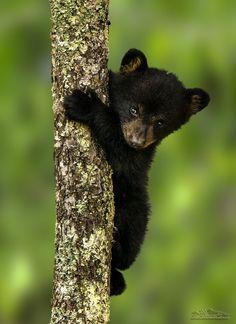 Teddy | Two week old black bear cub