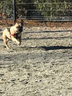 Book now by text 857-417-4368 or online at rover.com/sit/jennacap1203  #gpaws  #brucie #iluvmyjob #theworldofbullies #frenchbulldog #bostondogboarding