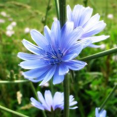 Chickory- beautiful and common roadside weed Its my favorite flower because it blooms best on cloudy dreary days and I see these pretty periwinkle flowers as a gift God sent to me to remind me that he loves me, on those dark and dreary days!