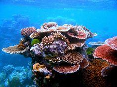 Coraux près de Cairns (Australie)  Toby Hudsonvia Wikimedia Commons (License by)        Le réchauffement des oécans n'est pas le seul fautif, il faut ausssi ajouter l'acidification des eaux et le développement de cyclones puissants, qui résultent en partie du changement climatique.