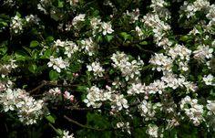 Meine Apfelbäume im Garten ... stehen zwar seit Tagen in voller Blüte, aber wenn es kühl und nass ist, fliegen die Bienen nicht. Und ob es da im Herbst Äpfel gibt...... Ich lass mich mal überraschen. :-)
