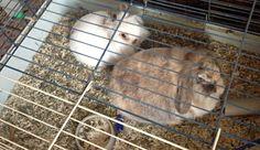 #zwergkaninchen #dwarfrabbit #kaninchen #rabbits #animals #photos #images