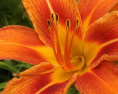 TIGER LILY SUNFine Art Photography Nature by EyeLoveTheView