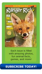 October 2013 issue of Ranger Rick magazine featuring an article about red foxes.