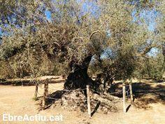 La Farga de l'Arion datada del 314 dC considerada l'olivera més antiga del món i que està a Ulldecona (Terres de l'Ebre). #Ulldecona #turismeterresebre #terresdelebre #Montsia #vidaactiva #olivera #olivetree  #ebreactiu