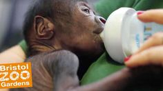 cool Baby Girl Gorilla borned with Caesarean section in Bristol Zoo - Chattanooga Daily Science Check more at http://www.albanydailystar.com/health/baby-girl-gorilla-borned-with-caesarean-section-in-bristol-zoo-chattanooga-daily-science-16821.html
