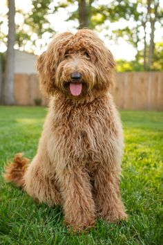 Goldendoodle puppy photos and heartwarming story by Mary Maier Photography. Includes full gallery feature for goldendoodle lovers! Black Lab Puppies, Cute Puppies, Cute Dogs, Dogs And Puppies, Corgi Puppies, Doggies, Goldendoodles, Labradoodles, Cute Puppy Photos