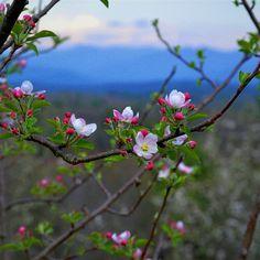 Blooms on Blue Ridge Mountains--North Carolina