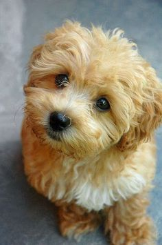 Maltese Poodle = Maltipoo cute animals sweet dog puppy pets poodle maltese maltipoo ___ Visit our website now! Love my MaltiPoo! Cute Puppies, Dogs And Puppies, Doggies, Puppies Tips, Baby Animals, Cute Animals, Funny Animals, Wild Animals, Cute Dogs Breeds
