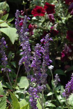 Sallyfun Blue Emotion Salvia (Salvia farinacea 'Sallyfun Blue Emotion') at Chalet Nursery