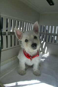 Taking Charlie home to meet his new family! #westhighlandterrier