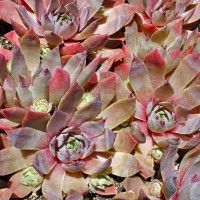 Sempervivum Rose Queen