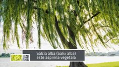 Te invitam sa afli mai multe despre aspirina naturala, despre aspirina vegetala produsa de Dacia Plant - Salix 500! www.daciaplant.ro , 0755.016.224, #sanatate #inflamatii #febra #reumatism #febramusculara #plantemedicinale #remediinaturale #remediidinplante #apirina #aspirinanaturala #asprinavegetala #Salix500 #DaciaPlant #medicinatraditionala #remediiromanesti #fitoterapie #apifitoterapie Pentru promovare in tendinte, alege echipa ARENA Communications! Te asteptam cu cele mai bune oferte…