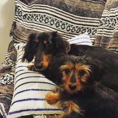 #dachshund #dachshunds #dog #doxie #doxies #pup #puppy #puppies #petstagram #pet #hotdog #adorable #ilovemydachshund #sausagedog #dogoftheday #TECKEL #Bassotto #ダックスフンド #短足部 #愛犬 #犬バカ #犬 #minidoxie #weeniedog #weenie #wienerdog #instapet#crossbreed #yorkshireterrier #chihuahua