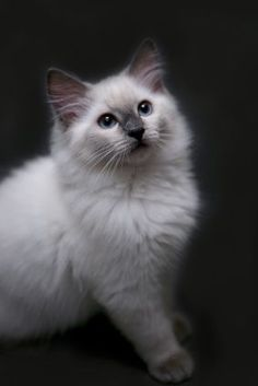 """I believe cats to be spirits come to earth. A cat, I am sure, could walk on a cloud without coming through."" --Jules Verne #ragdollcatcolorpoint"