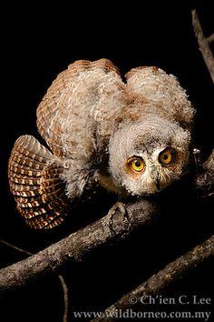 Otus magicus: The Moluccan Scops Owl