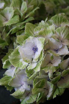 French Hydrangea 'Magical Noblesse' (Hydrangea macrophylla)