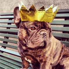 Meet The Most Important French Bulldog In All Of Sweden