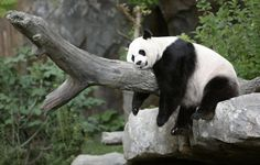 Panda Wallpaper Full Hd ~ Monodomo