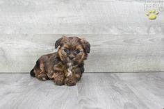 - Shorkie Puppy for Sale in Johnstown, OH Shorkie Puppies For Sale, Lancaster Puppies, Animals Dog, Yorkshire Terrier, Mans Best Friend, Shih Tzu, Gender Female, Puppy Love, Pets
