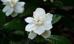<3 Cultivo y cuidados de gardenias
