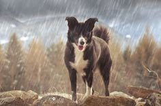 Border Collie, Cow, Animals, Pictures, Animales, Animaux, Cattle, Animal, Animais