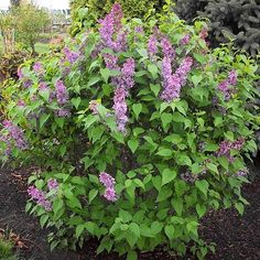 'Tiny Dancer' is a compact lilac produces trusses of intensely fragrant lavender-pink blooms every spring. Name: Syringia vulgaris 'Tiny Dancer' Growing Conditions: full sun Size: feet tall, feet wide Zones: Bloom Time: May-June Garden Shrubs, Flowering Shrubs, Garden Trees, Trees And Shrubs, Garden Plants, Sun Garden, Roses Garden, Fruit Garden, House Plants