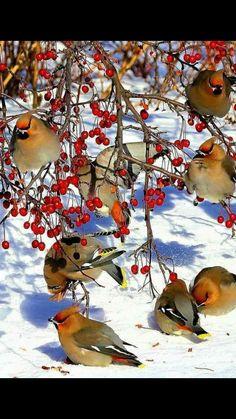 Ohhhh look at the amazing Cedar Waxwings feasting on berries.