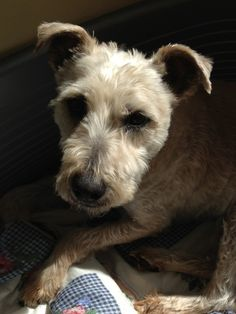 Soft coated wheaten terrier just got a haircut dog