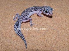 leopard gecko morphs - Google Search