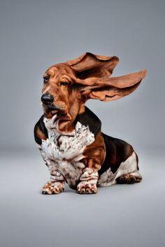 Basset Dog