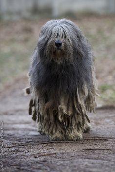 Bergamasco Shepherd Dog (Italian Alps)