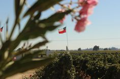 Chile, Santa Cruz, Valle Colchagua, Viña Chile, Dandelion, World, Flowers, Plants, Travel, Santa Cruz, First Night Romance, Tourism