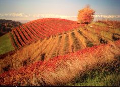 The vineyards of the Langhe, Piemonte, Italy color red in Autumn