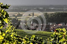 Fields of vineyards with the village of Wolxheim (Alsace, France) in the background