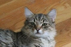 Taco is an adoptable Maine Coon Cat in Smithfield, NC. Meet! Taco He and his sibling, Burger are up to date on all vaccines, microchipped, and neutered. They were rescued from being put down last minu...