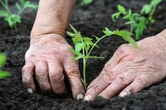 Whether you start seeds indoors, or purchase seedlings from a garden center, transplanting is an important part of growing a vegetable garden. Tomato Seedlings, Tomato Plants, Photoshop Essentials, Vida Natural, Growing Tomatoes In Containers, Perennial Vegetables, Soil Improvement, Seed Starting, Plantation