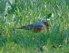 The early bird really DOES catch the worm. #nwf #BackyardHabitat #StarWoods
