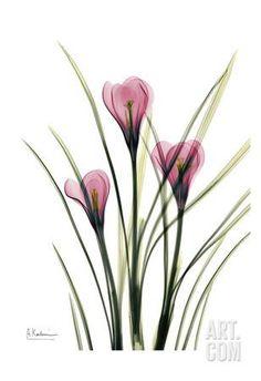Pink Spring Crocus Kunstdruck by Albert Koetsier at Art.com Xray Flower, Flower Art, Watercolor Flowers, Watercolor Art, Drawing Flowers, Plant Drawing, Rose Art, Purple Roses, Botanical Art