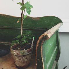 fig tree on green bench