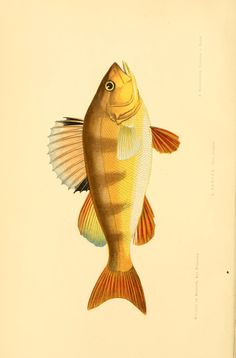1 - Les poissons : - Biodiversity Heritage Library
