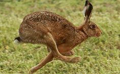 Hare - longer legs than a rabbit! Wild Rabbit, Jack Rabbit, Disney Memes, Animals And Pets, Cute Animals, Cute Baby Bunnies, Bunny, Rabbit Sculpture, March Hare