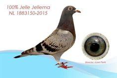 Jelle Jellema 100% NL-1883150-2015.  De vanzare acum. Click pe fotografie pentru detalii.  http://piatadeporumbei.ro/vad_anunt.php?id=4841